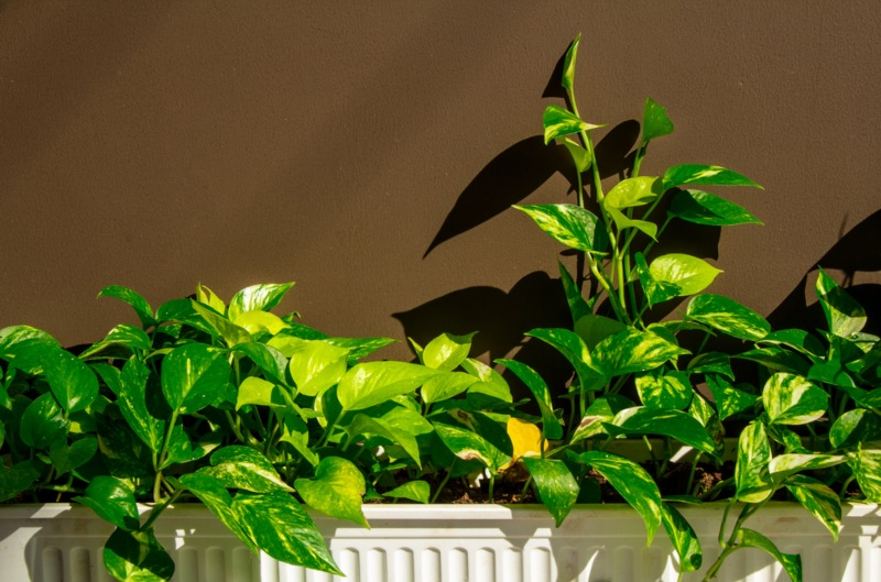 Golden-Pothos
