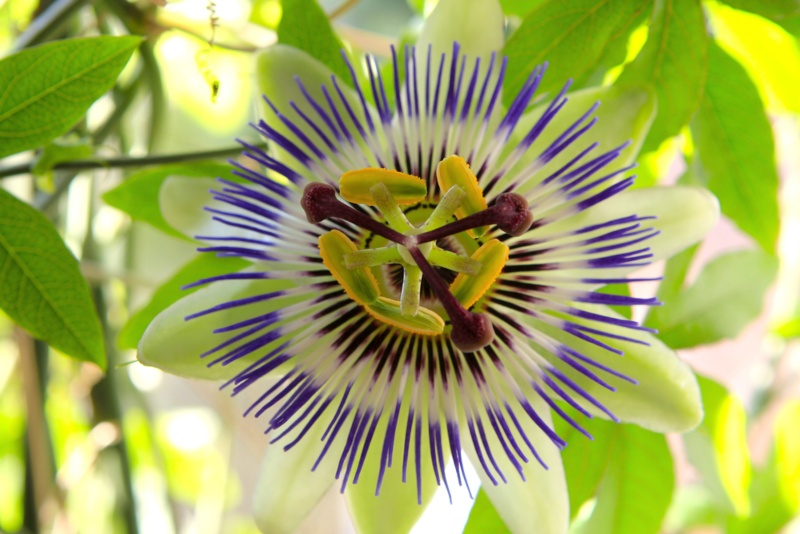 Hardy-Passion-Flower