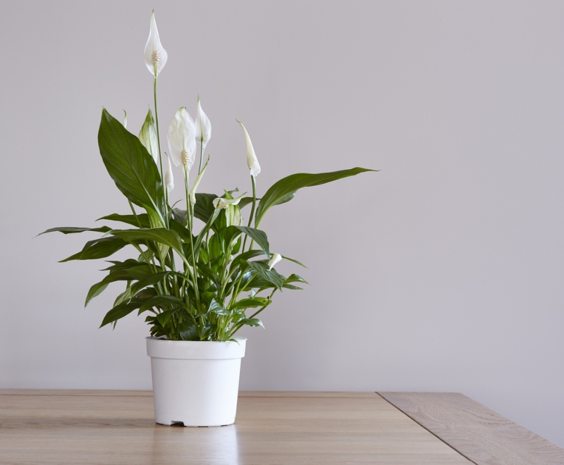 Peace-Lily