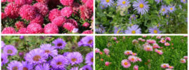 The Different Types of Aster (Photos)