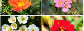 11 Different Types of Potentilla