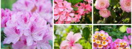 15 Breathtaking Pink Flowering Shrubs