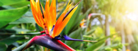 Growing Guide: How to Grow Bird of Paradise