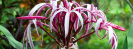Growing Crinum Lily (Spider Lily)