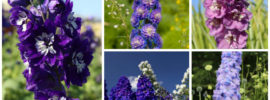Growing Delphinium Plants (Grow and Care Guide)