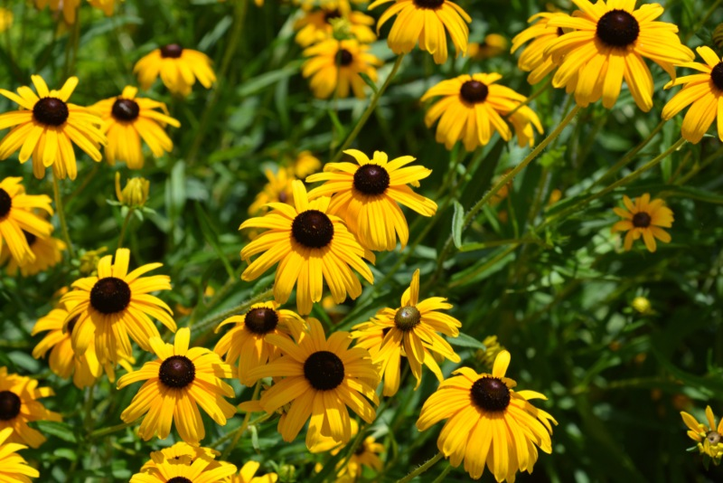 Indian-Summer-Rudbeckia