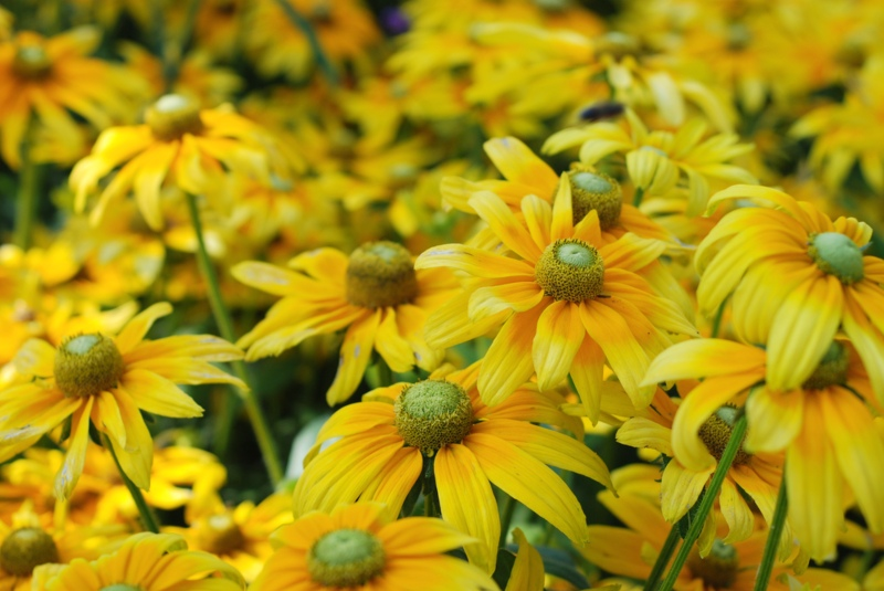 Irish-Eyes-Rudbeckia