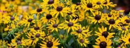 10 Fabulous Iowa Perennials