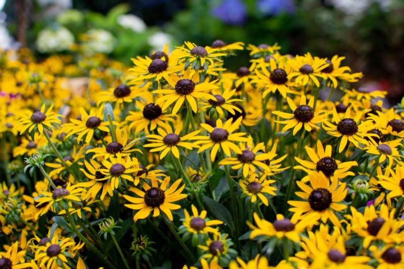 Little-Goldstar-Rudbeckia