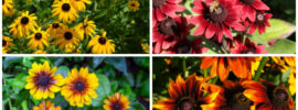11 Different Types of Black-Eyed Susan (Rudbeckia)