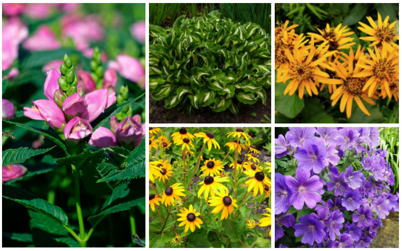 Partial Sun Perennials