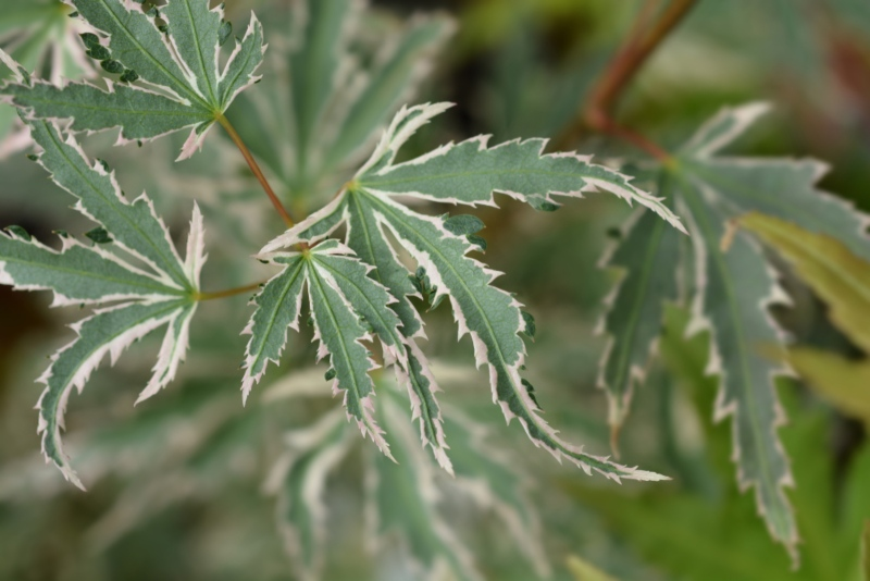Butterfly-Japanese-Maple (Acer palmatum 'Butterfly')
