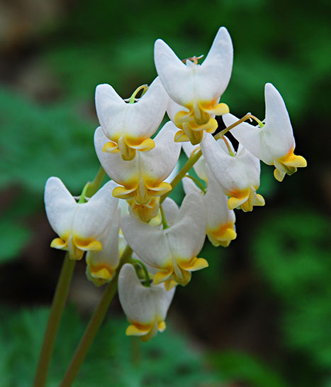 Dutchman's breeches wildflower