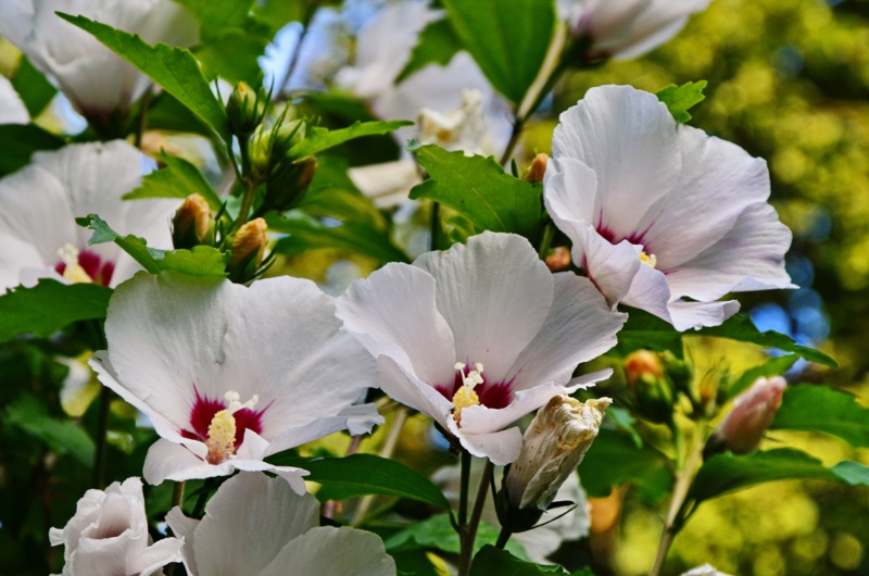 Eastern Rose-mallow