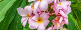 5 Different Types of Plumeria (Photos)