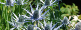 Growing Sea Holly Plants (Eryngium)