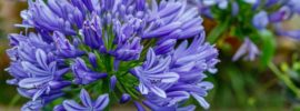 Tips for Growing Agapanthus (Lily Of The Nile)