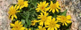 Tips for Growing Angelita Daisy Plants