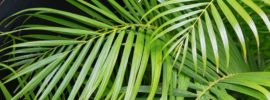 How to Prune Areca Palm