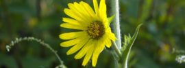 Growing Compass Plant (Silphium laciniatrum)
