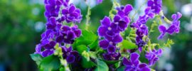 Growing Guide: Tips on Growing Duranta Plant (Duranta erecta)
