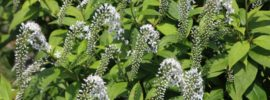 Tips for Growing Gooseneck Loosestrife