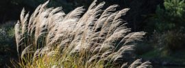Growing Japanese Silver Grass (Miscanthus)
