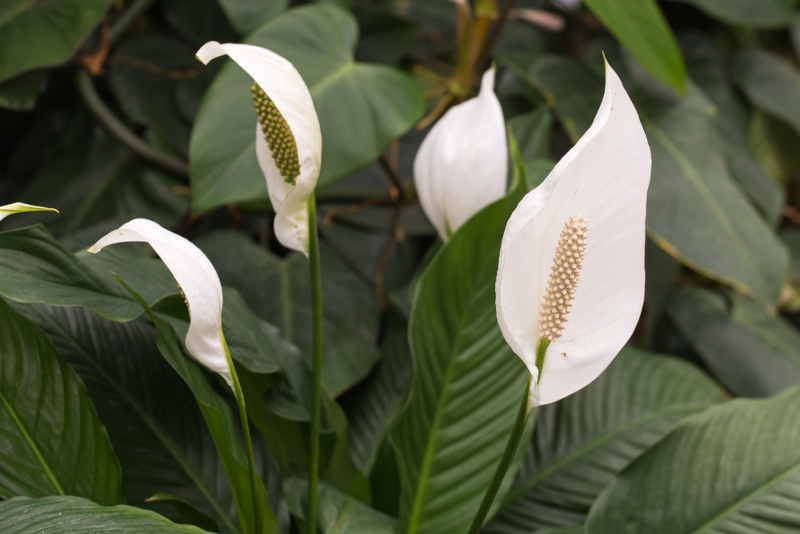 Peace-lily (1)