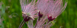Growing Prairie Smoke Wildflowers (Geum triflorum)