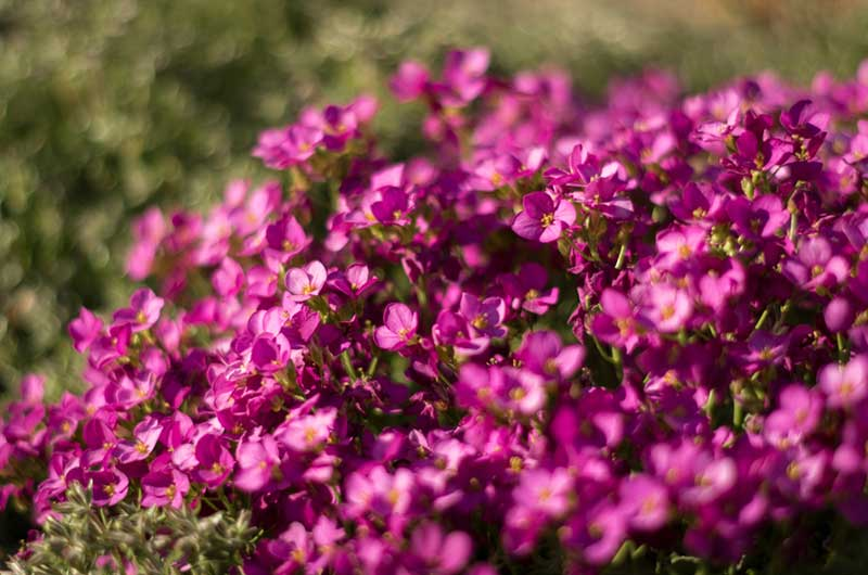 Rock Cress ground cover