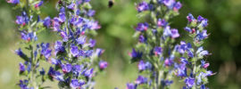 Growing Viper's Bugloss Plant (Echium vulgare)