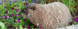 Tips to Get Rid of Groundhogs