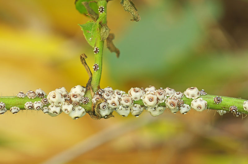 scale insects on plant