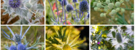 10 Different Types of Sea Holly