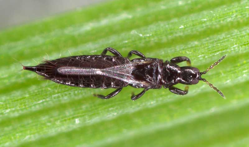 Plant Thrips