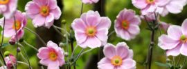 How to Plant and Grow Anemone (Growing Guide)