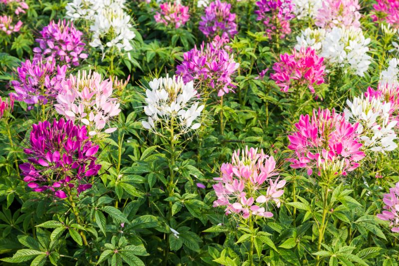 Cleome-hassleriana-'Linde Armstrong'