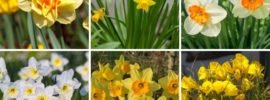 The Different Types of Daffodils