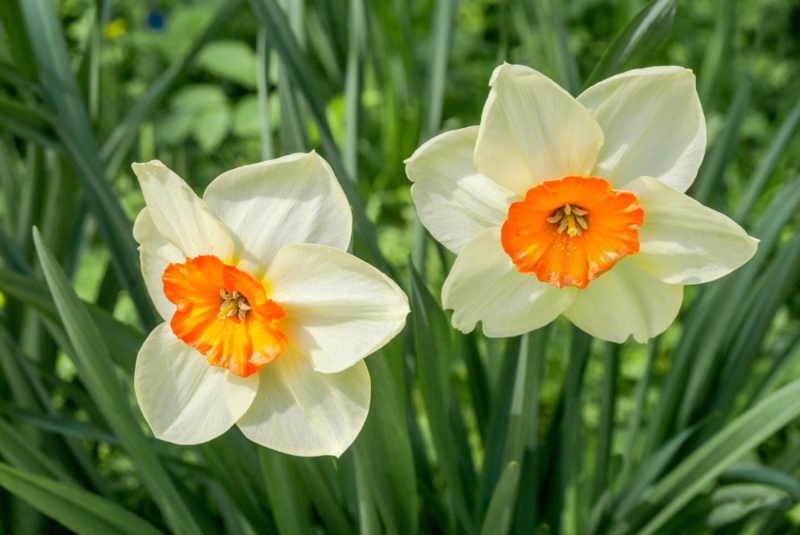Small-Cupped Daffodils