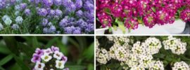 The Different Types of Alyssum (Photos)
