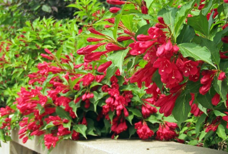 'Crimson-Kisses' Weigela