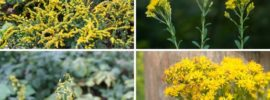 The Different Types of Goldenrod (Invasive)