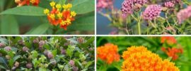 8 Different Types of Milkweed (Photos)