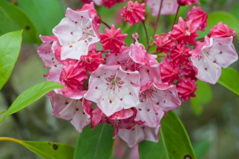 Mountain-Laurel 'Olympic-Fire'