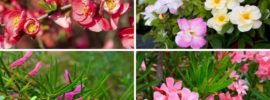 10 Flowering Shrubs for Full Sun