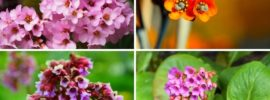 Different Types of Bergenia (Photos & Growing Tips)
