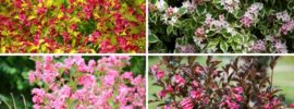 10 Different Types of Weigela (Gorgeous Varieties)