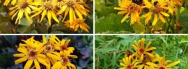 12 Different Types of Ligularia (Photos)