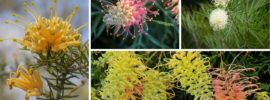 10 Different Types of Grevillea