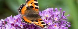 Tips for Growing Butterfly Bush (Buddleia davidii)